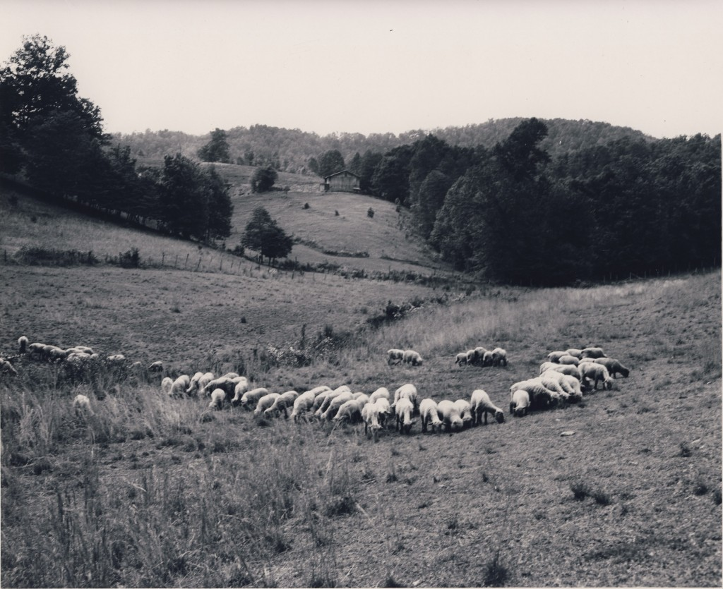 Galbraith Creek Road. Sheep grazing on fescue. May, 25, 1960 (Swain County Soil & Water picture)