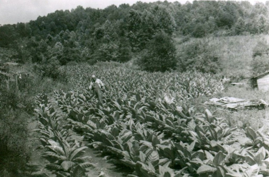 Swain County tobacco grower.