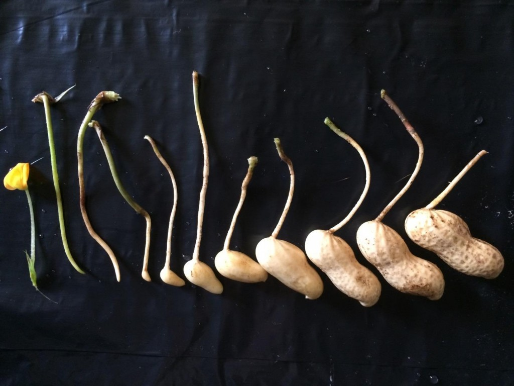 distribution of peanut pods