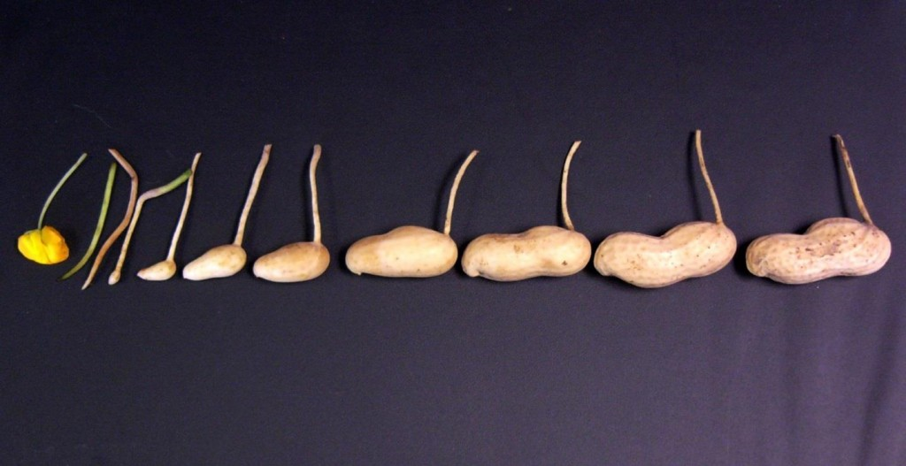 eleven peanut pods at various stages of development