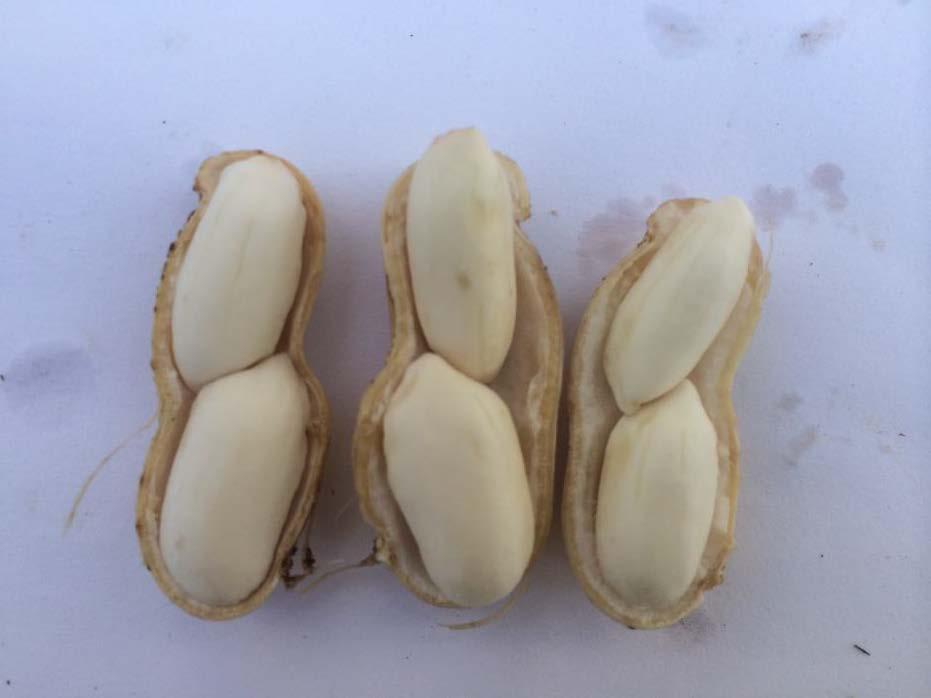 mature peanut kernals