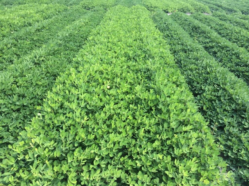 rows of treated and non-treated peanut foliage