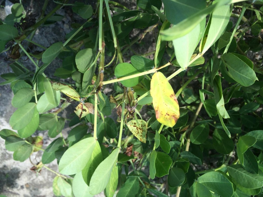 peanut leave with Tomato spotted wilt virus