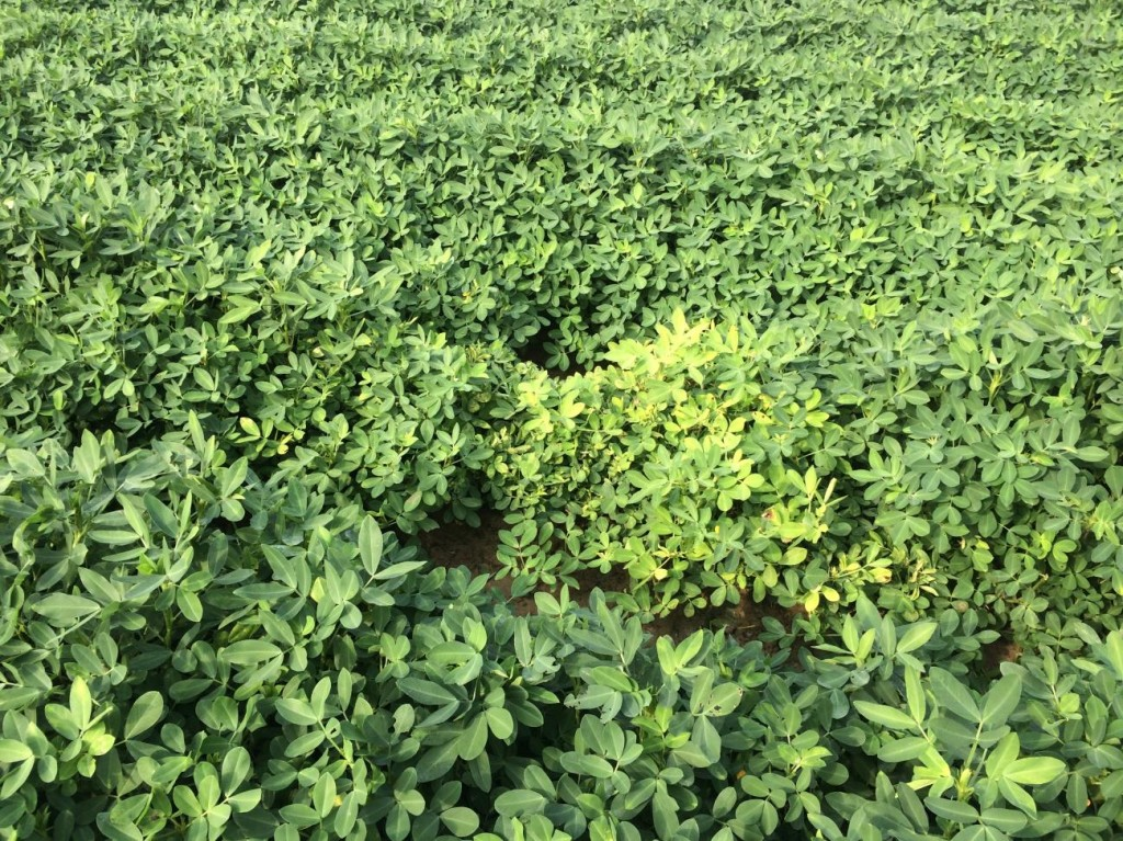 Peanut canopy affected by Tomato spotted wilt