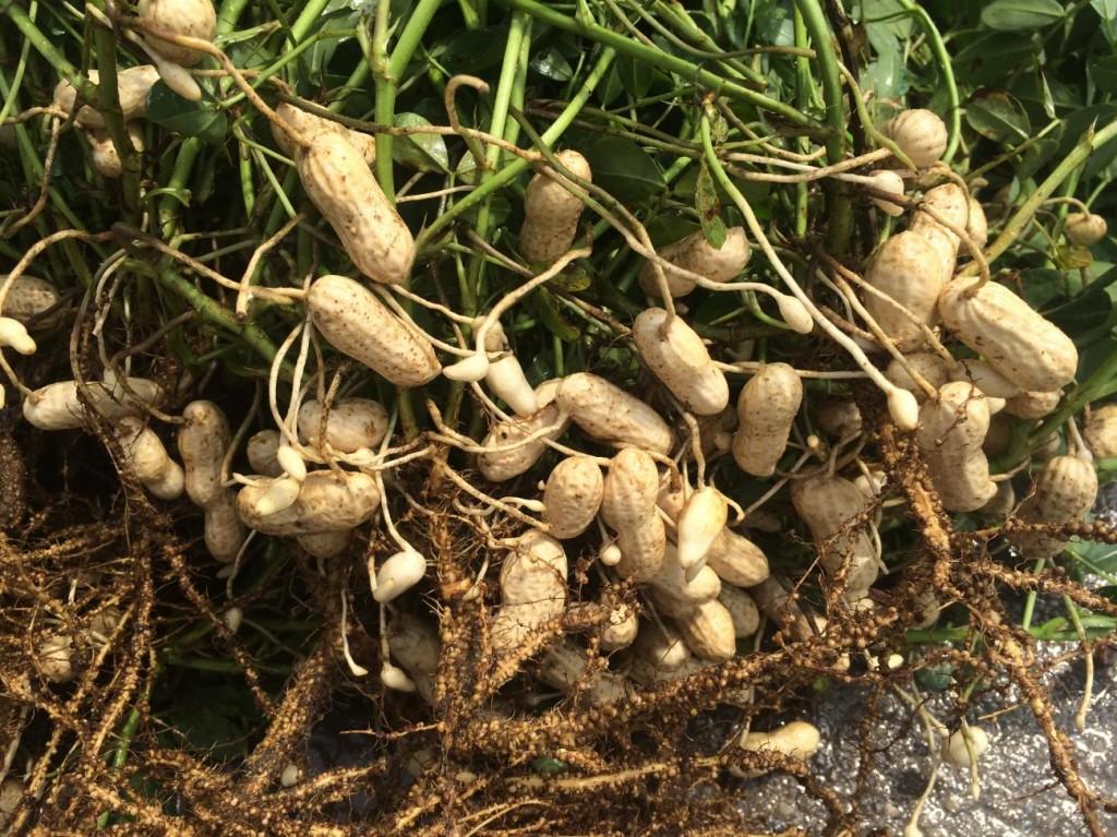Freshly dug peanut plant