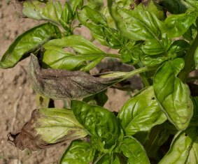 Basil plant infected with downy mildew