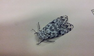 One of the largest tiger moths in NC, this is a distinct moth with black circular spots