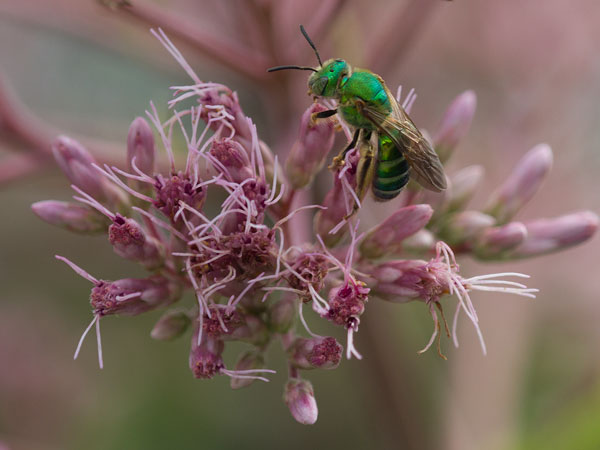 Sweat bee on joe-pye weed.