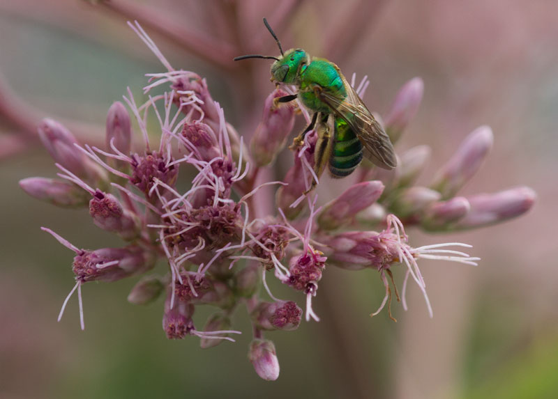 Sweat bee on joe-pye weed