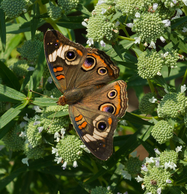 Buckeye on Virginia mountain mint