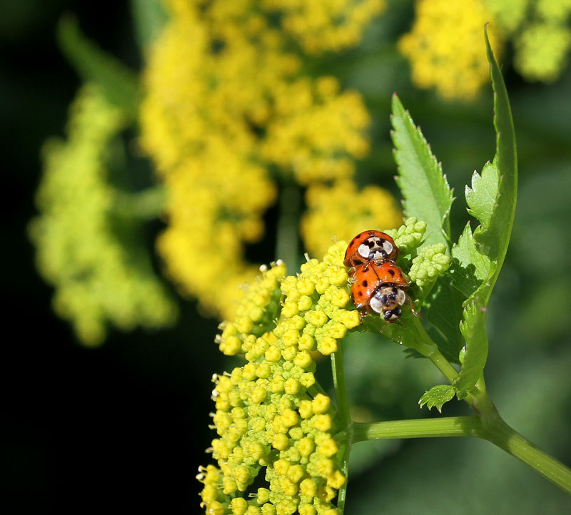 Lady beetles on golden alexander