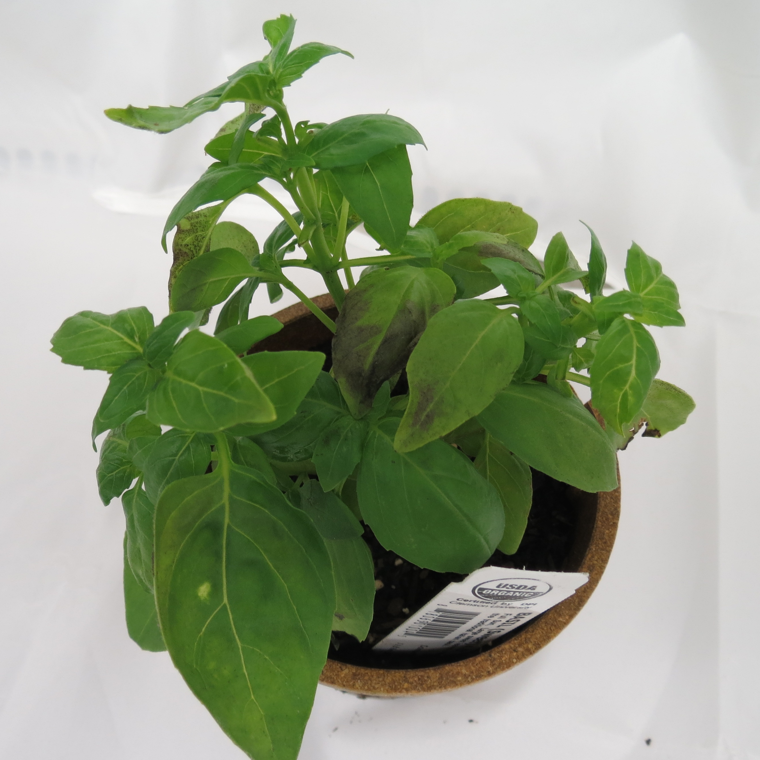 Figure 2: Symptoms of basil downy mildew, note browning of leaves (Saunia Withers, NCSU Vegetable Pathology Lab)