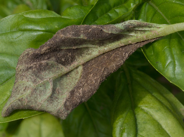 Fuzzy sporulation on the underside of a basil leaf