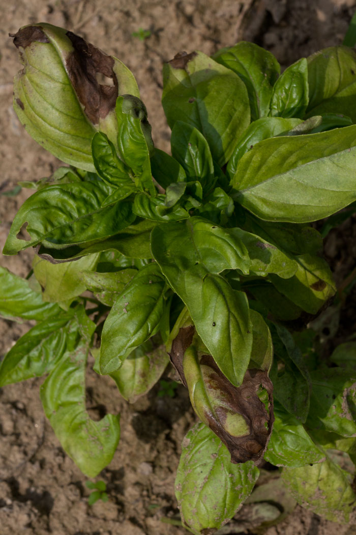 Basil downy mildew symptoms on Genovese basil