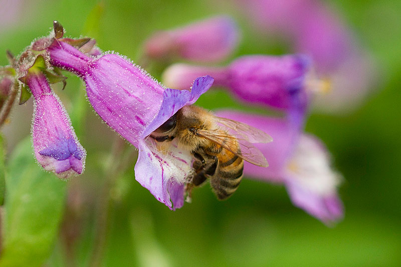 Honey bee on small's beardtongue