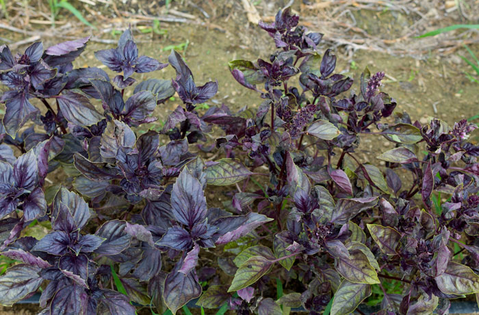 'Red Rubin' basil infected with basil downy mildew