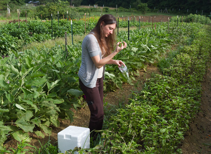 NCSU researcher Saunia Withers collects samples of diseases basil for DNA sequencing.
