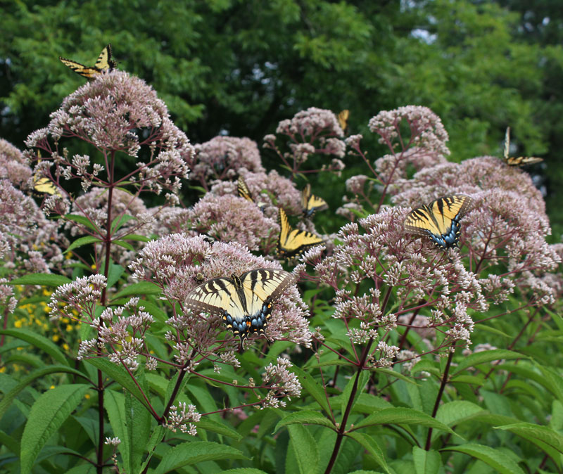Eastern tiger swallowtails on joe-pye weed