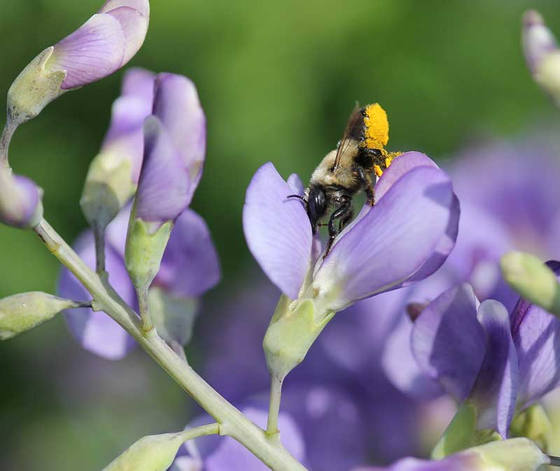 Leafcutter bee on wild indigo