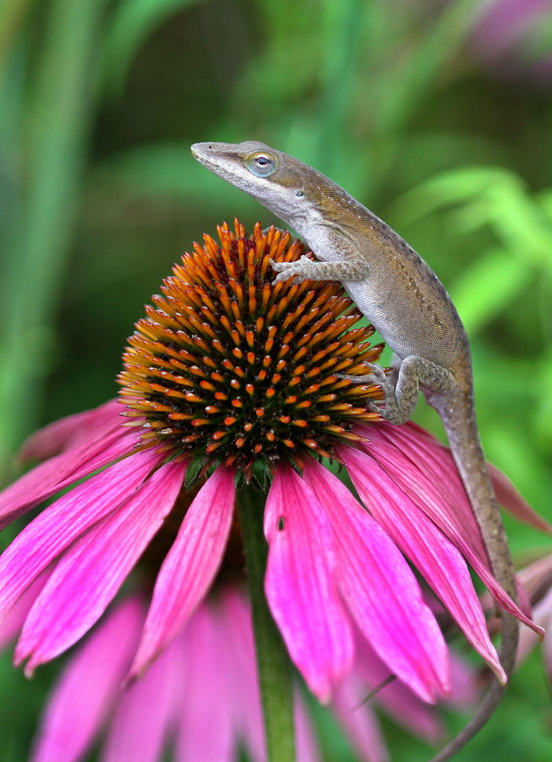 Carolina anole on coneflower