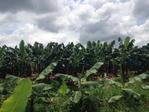 bananna trees
