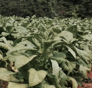 Tobacco from our Piedmont site has grown noticeably over the past few weeks.