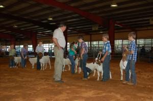 Judge Ron Hughes checks over Cloverbud goats in showmanship show.