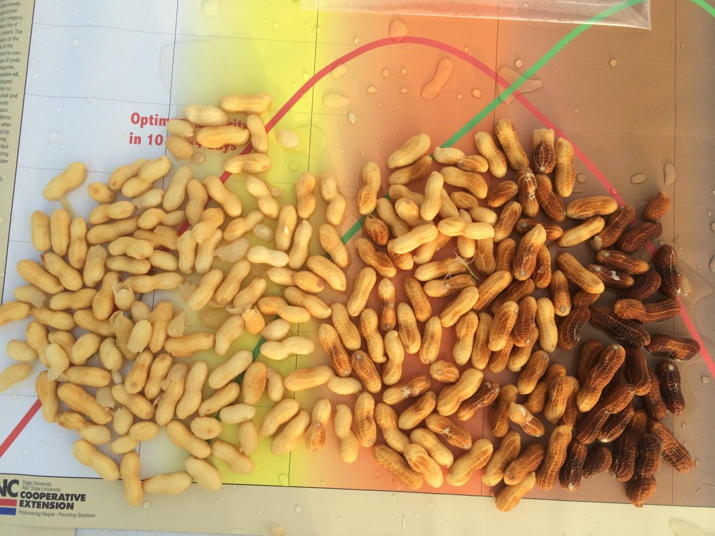 shelled peanuts showing range of color