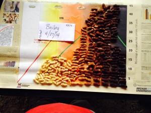 peanuts (variety Bailey) from pod blasting on 9/8/14