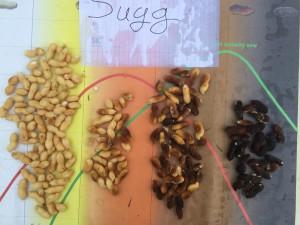 Peanut variety Sugg from pod blasting on 9/9/14