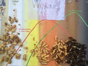 peanuts (variety Wynne) from pod blasting on 9/9/14