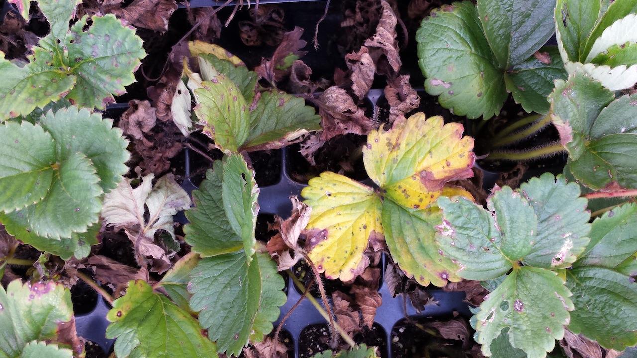 C.glo - note dark spots on leaf