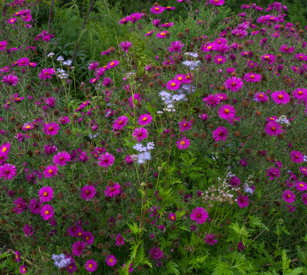 New England aster 'September Ruby' with wild ageratum