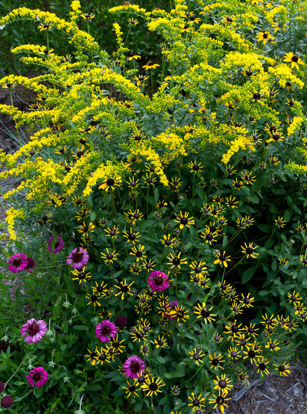 Goldenrod 'Solar Cascade' with orange coneflower and purple blanketflower