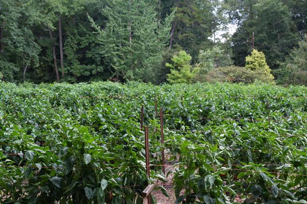 Pepper field at Peregrine Farm