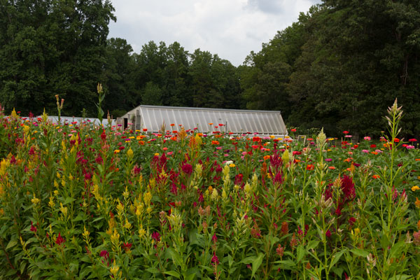 Celosia and zinnias in front of greenhouse at Peregrine Farm.
