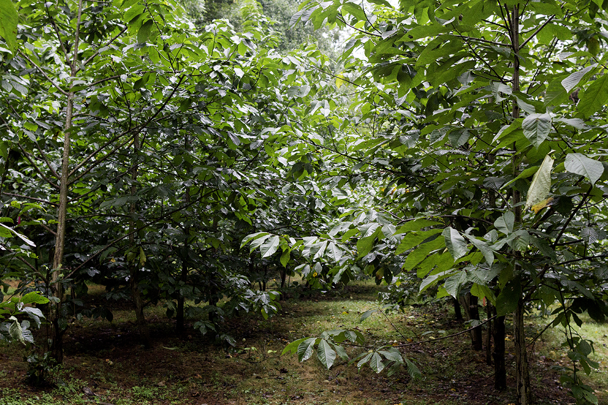 Densely planted pawpaw orchard.