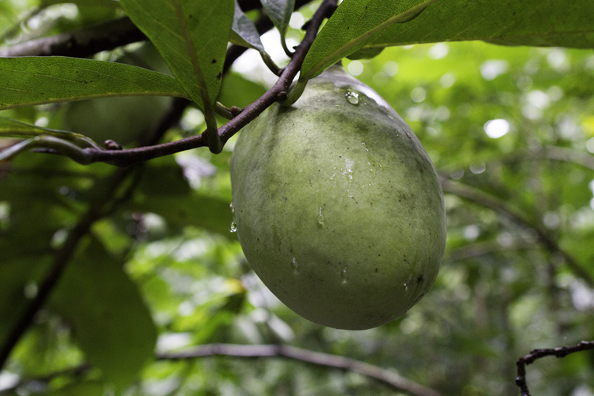 In the wild, pawpaws are an understory tree often found on the rich soils of woodland floodplains.