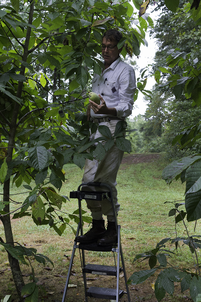 Wynn uses a ladder to harvest fruit.