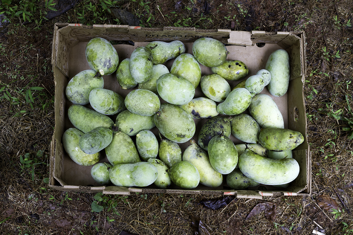 These pawpaws were sold to Fair Game Beverage Company to be made into brandy!