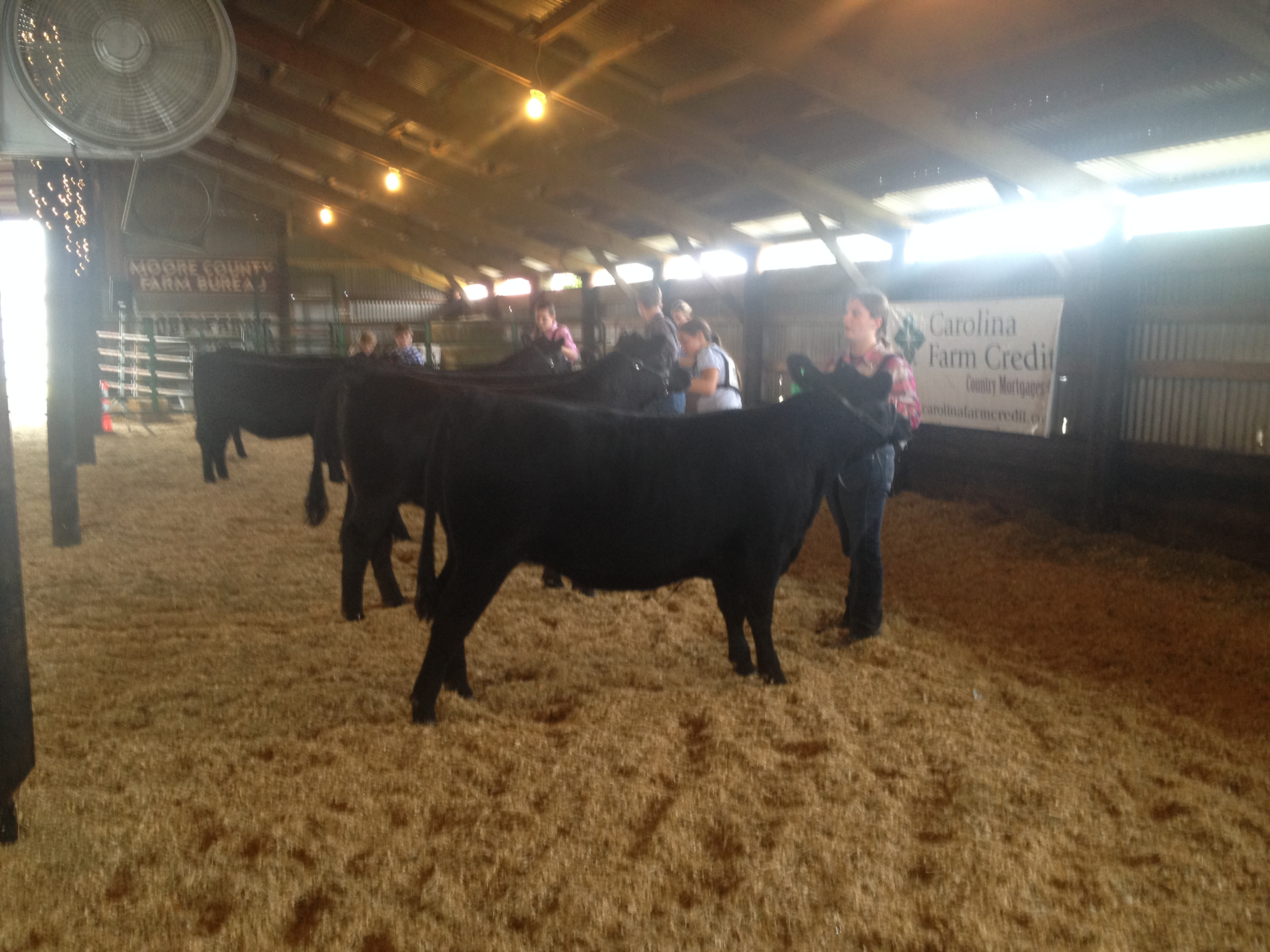 Youth showing heifers.