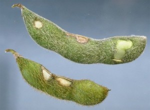 Pod injury from bean leaf beetle. Photo by Kelly Cook, U. Illinois.