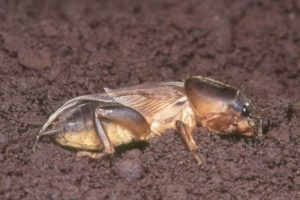 Cover photo for Mole Cricket Alert