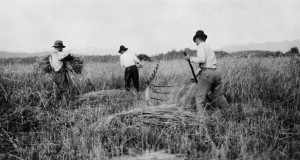 This 1919 photo from the NCSU Libraries Digital Program depicts wheat farm operations in Buncombe County. Wheat is being cut by cradle and bound by hand.