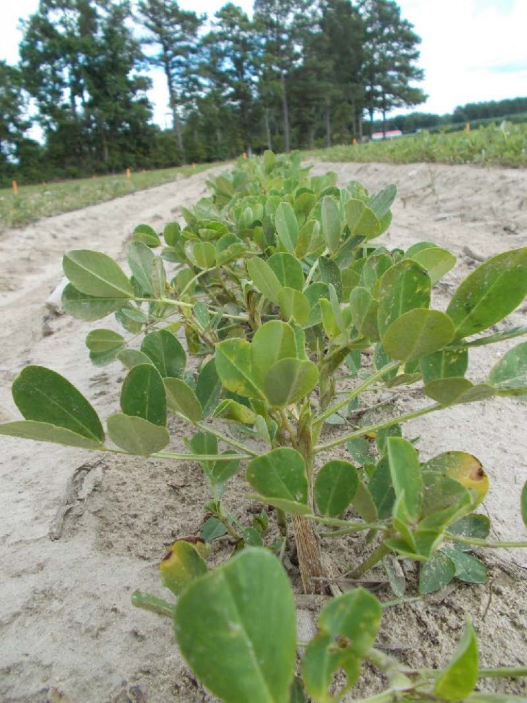 Peanut plants protected by in-furrow insecticides