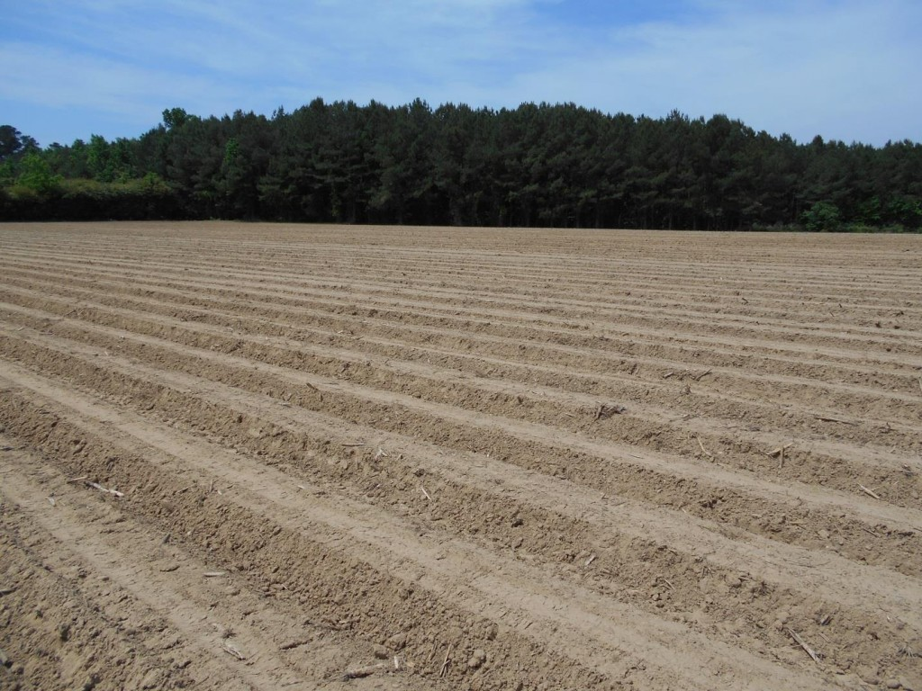 Recently planted peanut field