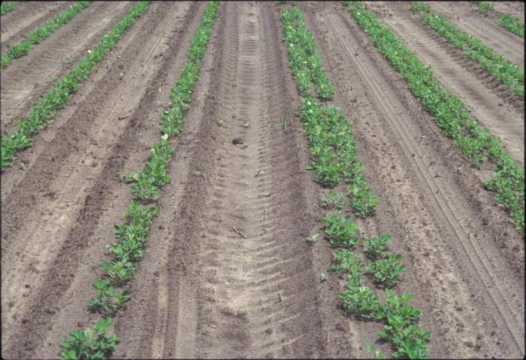 peanut rows