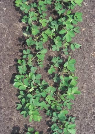 twin row planting