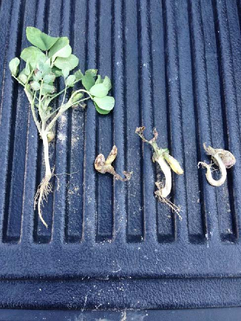 possible herbicide injury