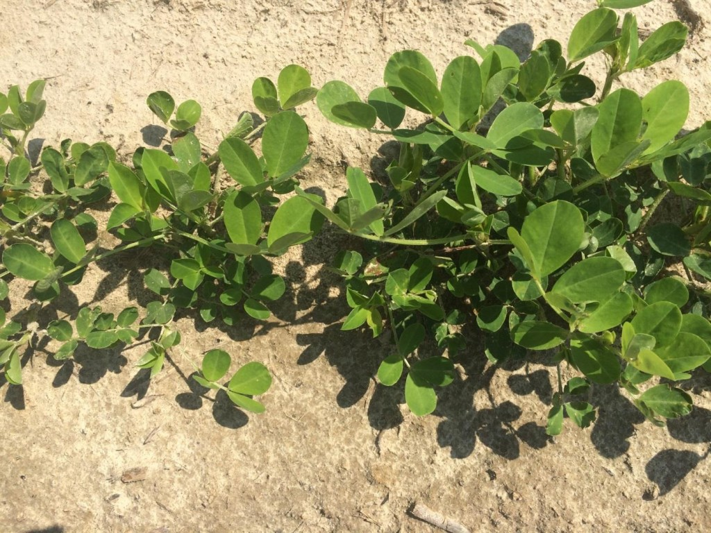 Peanut recovering from early season thrips injury